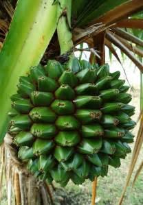 Barbados Palm Fruit