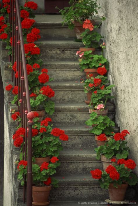 planting geraniums in pots potted geraniums lining sides of stairway geraniums are so pretty plant in pots or in ground