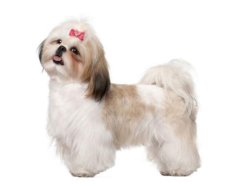 Shih Tzu Miniature Schnauzer Pups For Sale