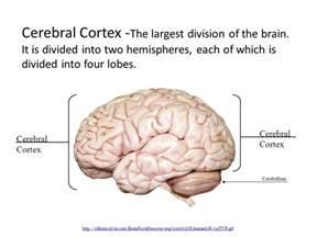 Hemispheres of Brain Cerebral Cortex