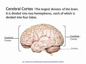 Cerebral Cortex -The largest division of the brain - ppt ...