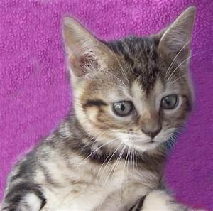 Bengal Manx Kittens Cats Breeder Manx Bengals Cat Banx Ben ...