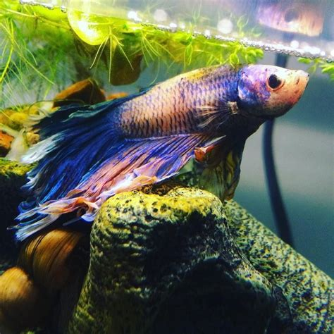 how do beta fish live 594 best images about beta fish on pinterest betta fish tank auction and live fish
