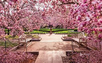 Cherry Washington Blossoms Dc Mall National Trees