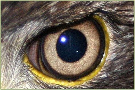 bald eagle owl eyes eye drawing bald eagle