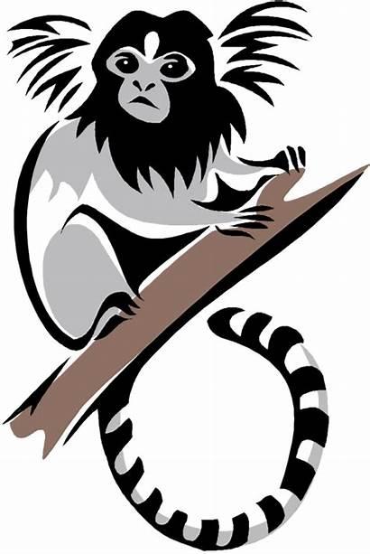 Clipart Monkey Marmoset Monkeys Vector Colobus Pygmy