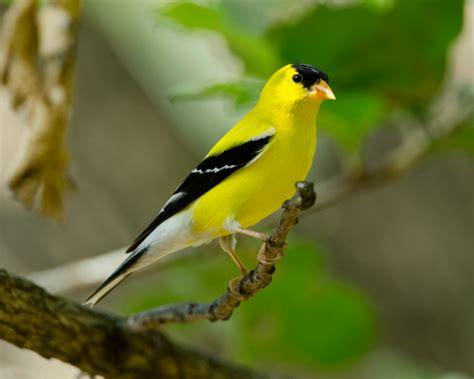 colorful exotic birds gouldian finch description