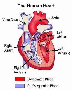 Human Circulatory System  U2013 Scienceeasylearning