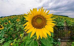 Pin Facebook-sunflower-hd-sunflowers-wallpapers-for on ...