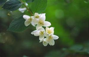 Mimosa Résistant Au Froid : plantes tropicales r sistant au froid ~ Melissatoandfro.com Idées de Décoration