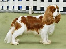 Cavalier King Charles Spaniel Pictures, Information