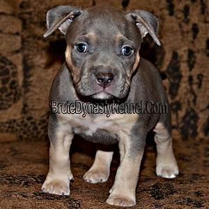 XL Tri Color Bully PitBulls & Puppies-Pocket Tri Color ...