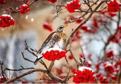 Birds Snow Nature Berries Animals Winter Bird