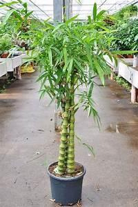 Bambus Pflege Zimmerpflanze : bambus buddhas bauch bambus bambus pflanzen der ~ Michelbontemps.com Haus und Dekorationen