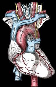 54 best Anatomical:Hearts:Medical Illustrations images on ...