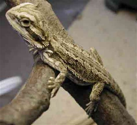 pet lizard lizards orlando pet services