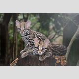 Ocelots Cubs   800 x 533 jpeg 61kB