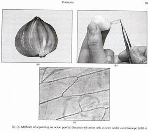 Experimental Preparation Of Temporary Mounts Of An Onion Peel