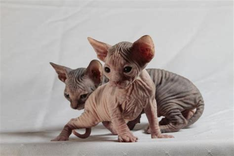 Caring For A Sphynx Cat