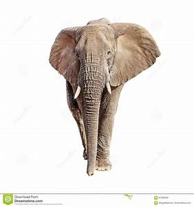 African Elephant Front View Isolated Royalty-Free Stock ...