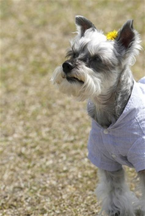 do schnauzers shed why are miniature schnauzer hypoallergenic many