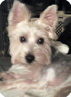 Detroit, MI - Yorkie, Yorkshire Terrier. Meet Silver