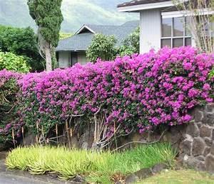 Arbuste Persistant Croissance Rapide : haie fleurie et persistante quels arbustes pour haies ~ Premium-room.com Idées de Décoration