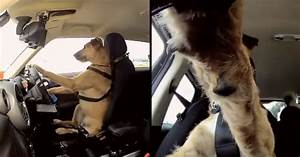 yes this dog is actually driving a car video
