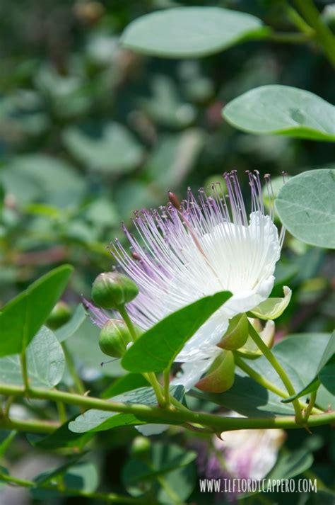 fiori capperi capperi boccioli fiori frutti il fior di cappero