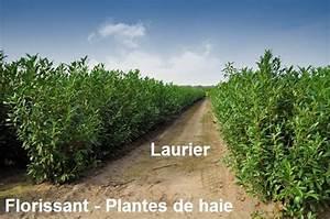 Arbuste Pour Haie Pas Cher : laurier 150 175 cm prunus arbustes pour haies pas cher achat prix vente laurier pour haie ~ Nature-et-papiers.com Idées de Décoration