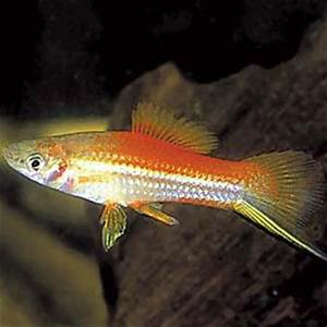 Poisson Aquarium Eau Chaude : xipho ananas 4 5 cm poissons eau chaude xiphos ~ Mglfilm.com Idées de Décoration