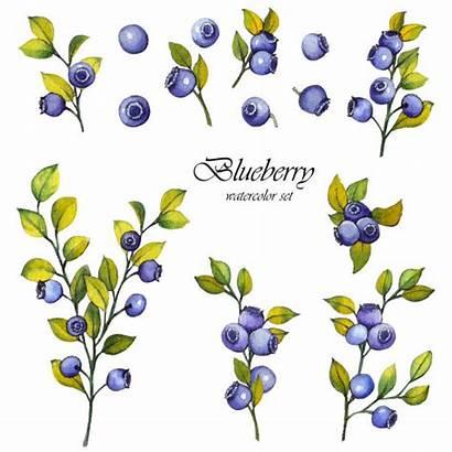 Blueberries Wild Illustrations Clip Blueberry