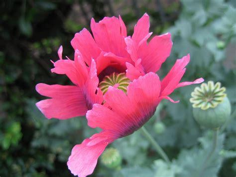flowers poppies flower picture poppy flower 1