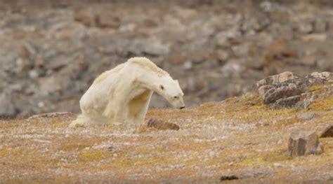cuisines et vins les images tragiques d un ours polaire symbole du