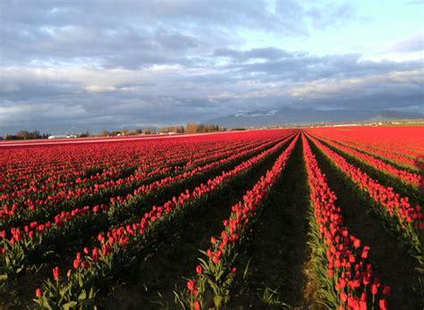 conner washington tulip wa fields laconner festival skagit tulips tripadvisor state seattle valley near tourism farm kitters things retire towns