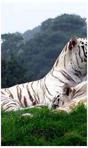 tiger, White Tigers, Animals, Nature, Big Cats Wallpapers ...