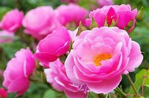 Rosen Im Topf überwintern : pflanze des monats im mai die rose events news ~ Orissabook.com Haus und Dekorationen