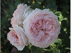 Roses in the Springtime Lovely Plantings