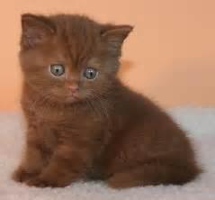 shorthair cinnamon cat cinnamon shorthair cat brown hairs