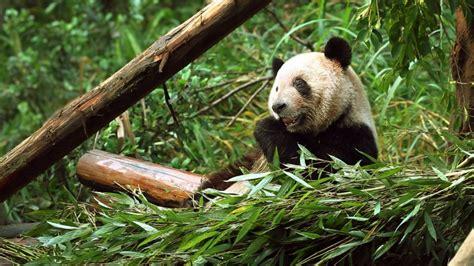 Panda Bamboo Bing Wallpaper Download