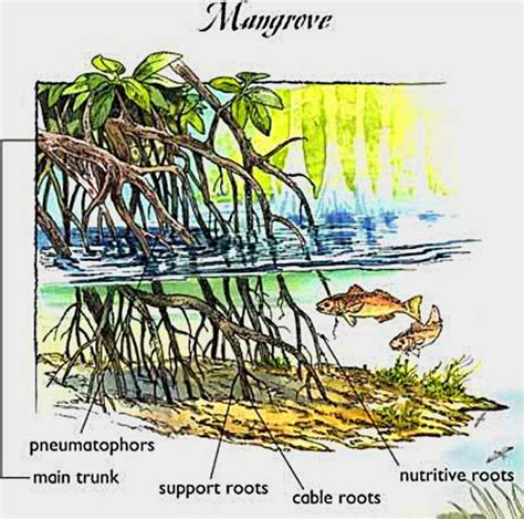 floor sink carbon sequestration mangroves for fiji