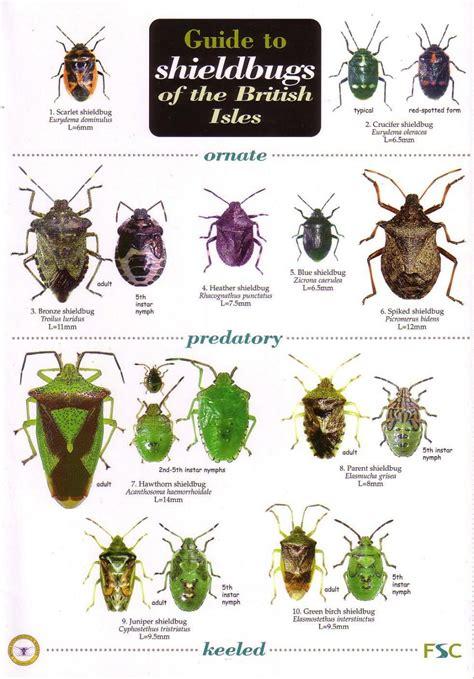 Guide To Shieldbugs Of The British Isles Bernard Nau Nhbs