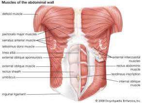Muscles Of The Pelvic Floor Quiz by Hcv New Drugs Abdominal Pain Right Left Upper Quadrant