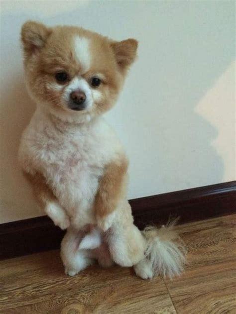 pomeranian haircuts  dog lovers hairstylecamp