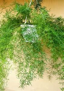 Entretien Plante Verte : asparagus planter et cultiver ooreka ~ Medecine-chirurgie-esthetiques.com Avis de Voitures