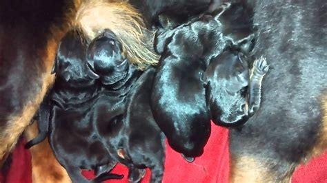 Cachorros Rottweiler Recién Nacidos.