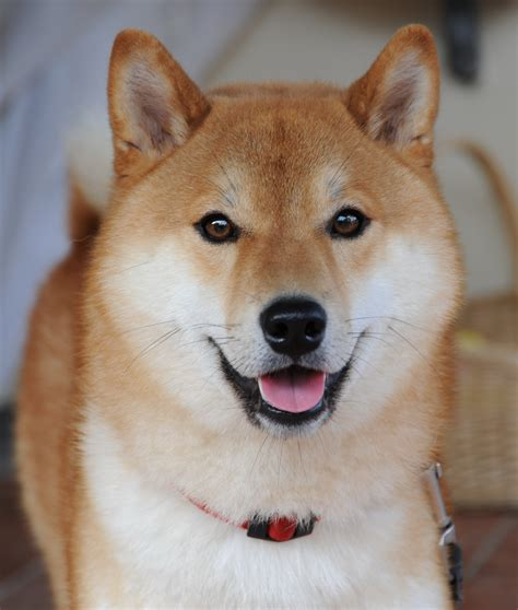 What Breed Is Doge Meme - shiba inu puppies rescue pictures information temperament price animals breeds