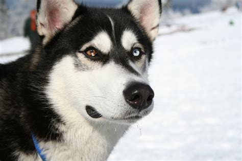 Siberian Husky  Spirit Animal Totems And Messages