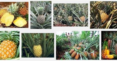 pengertian definisi buah nanas dunia tumbuhan