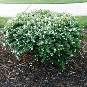 Bacopa - MegaCopa White | Friends School Plant Sale